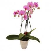 Phaleonopsis Orchid Plant